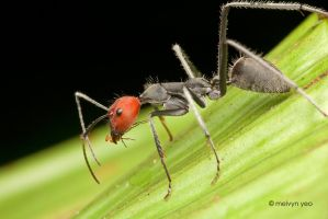 Red Head Ant by melvynyeo