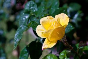 rain bottle rose by bimjo
