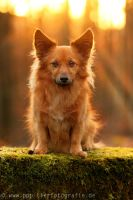 dog sitting on a wall in the sunset by Partridge-PetPics