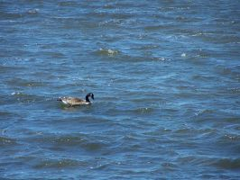Duck on blue water by Hermit-stock