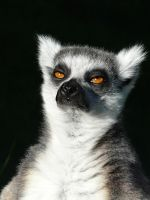 Another Ring-tailed Lemur by April-Snowflake