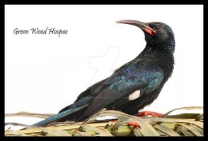 Sparkling - Green Wood-hoopoe by Jamie-MacArthur