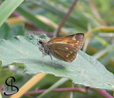 Small Skipper by Scalenbee