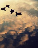 Ducks in the pond by 20016432