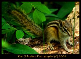 Chipmunk 1 by KSPhotographic