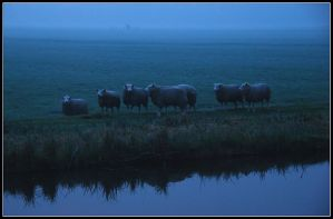 More early-morning sheep by jchanders