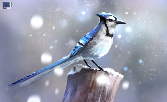 Video - Blue Jay by danielbogni