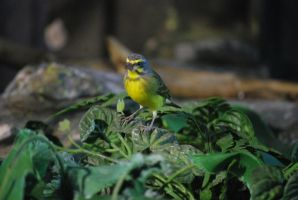yellow-fronted canary 1.1 by meihua-stock
