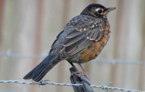 Mr. Robin by Michies-Photographyy