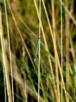 Blue dragonfly by Kim-92