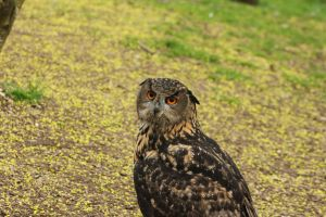 Molly the Eurasian Eagle Owl by Skarkdahn