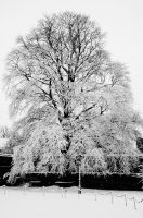 Snowy Copper Beech by EarthHart