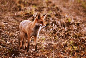 wild fox by MateuszPisarski