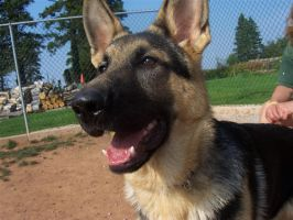 German Shepherd 1 by sacredlegaci
