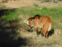 Maned Wolf by Theheartcanburn