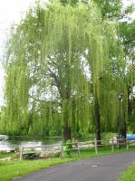 Weeping Willow by kayame-wolfe
