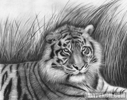 Sumatran Tiger by chandito