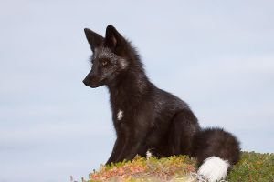 Young Black Fox in the Wild 12 by Witch-Dr-Tim