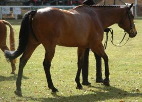 bay thoroughbred mare walking away by tbg-stock-images