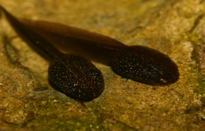 Common frog tadpoles by AngiWallace
