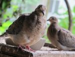 Placid Little Mourning Dove 15 by Windthin