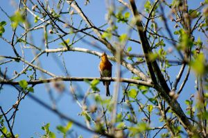 robin singing in a tree. by LubelleCreativeSpark