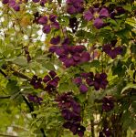 Clematis - 2 by Martina-WW