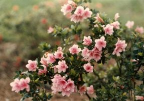 Pale Pink Azaleas by bewilderedconfused