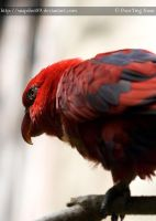 Red Lory 0137 by Snapshot89