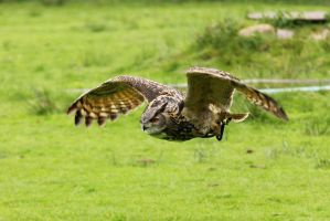 Eagle Owl 1 by landkeks-stock