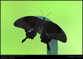Papilio iswara iswara by log1t3ch