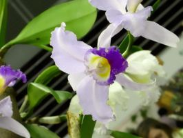 Orchid Series 10 by Formel