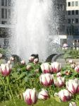 A Fountain of Tulips by ErinM2000