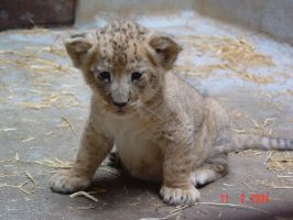 New Lion Cub by Tizzer