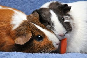 CPR Guinea Pigs XXXVII by LDFranklin