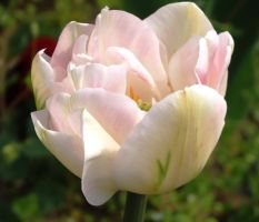 Peony Tulip - White by ordinarygirl1
