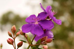 Tibouchina 1 by wildplaces