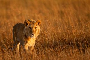 African Lion 37 by catman-suha