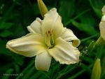 Pale yellow Lily by Hansmar