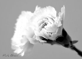 Carnation B/W by Mark-Allison