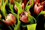 Tulips by RotFront
