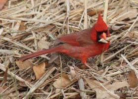 A Cardinal Eating by Rjet33