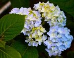 Yellow and Puple Hydrangea by Lambieb123