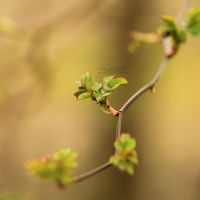 11/52 - First buds by IndigoSummerr