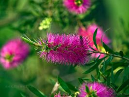 Pink Delight by FireflyPhotosAust