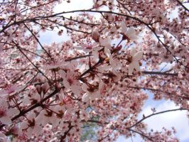 Blossoms by JamesDarrow