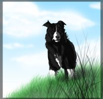 Border Collie by Tiguar