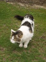 Tabby and White Moggy II by Twister4evaSTOCK