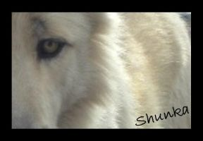 Eye of a Wolf by ChinookWolf