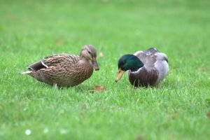 Mallard couple by Biology-Meets-Art